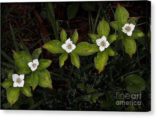 Bunchberry Flowers Canvas Print