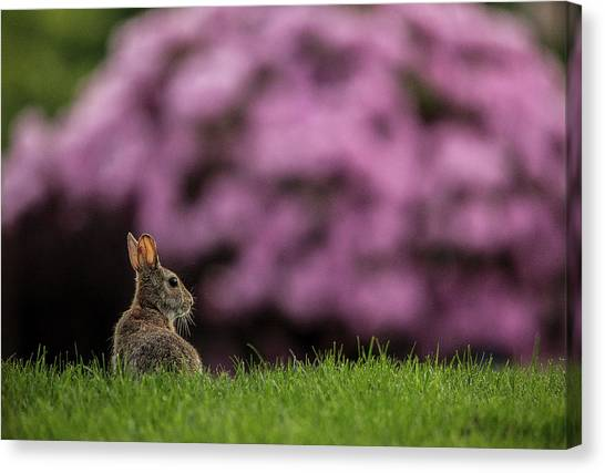 Bunny In The Yard Canvas Print