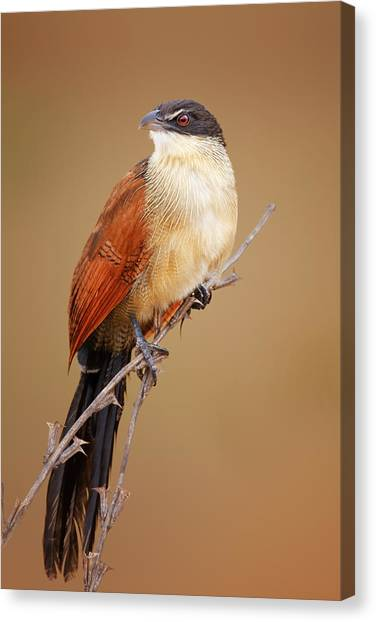 Perching Birds Canvas Print - Burchell's Coucal - Rainbird by Johan Swanepoel