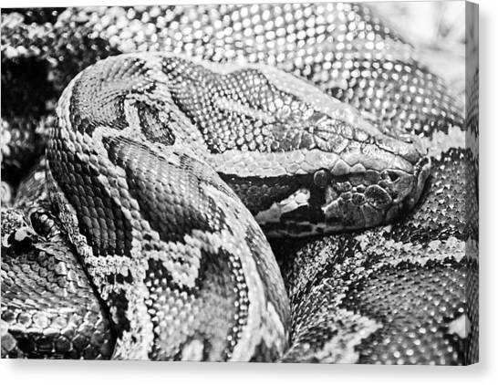 Burmese Pythons Canvas Print - Burmese Python-001 by David Allen Pierson