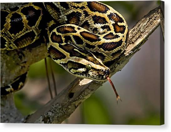 Burmese Pythons Canvas Print - Burmese Python by Dawn Van Doorn