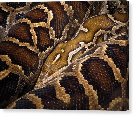 Burmese Pythons Canvas Print - Burmese Python by J M Farris Photography