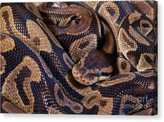 Burmese Pythons Canvas Print - Burmese Pythons by Les Palenik