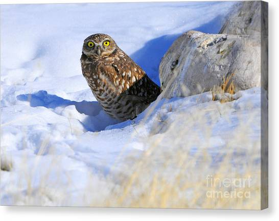 Burrowing Owl In Winter Canvas Print by Dennis Hammer