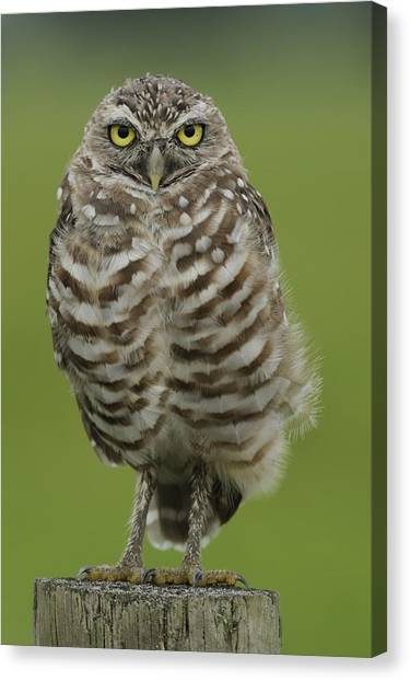 Burrowing Owl Lookout Canvas Print