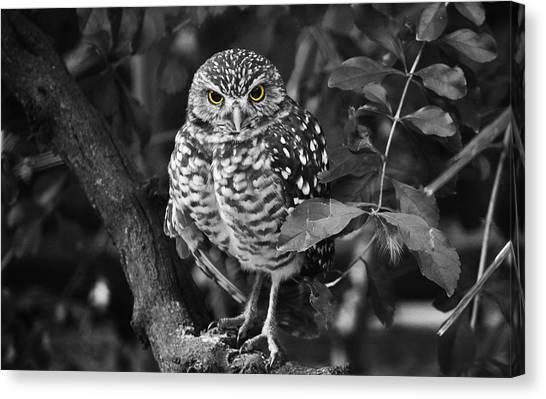 Burrowing Owl  Selective Color Eyes Canvas Print