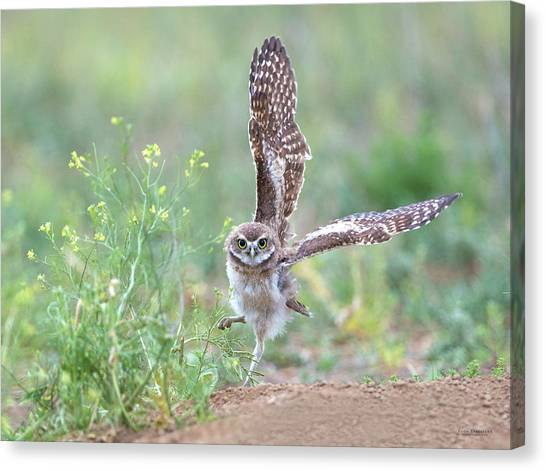 Burrowing Owl Spies Grasshopper Canvas Print