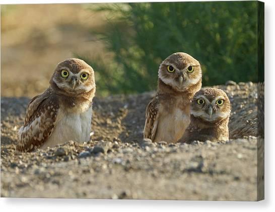 Burrowing Owls Canvas Print