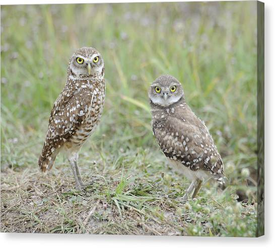 Burrowing Owls Nesting Canvas Print by Keith Lovejoy