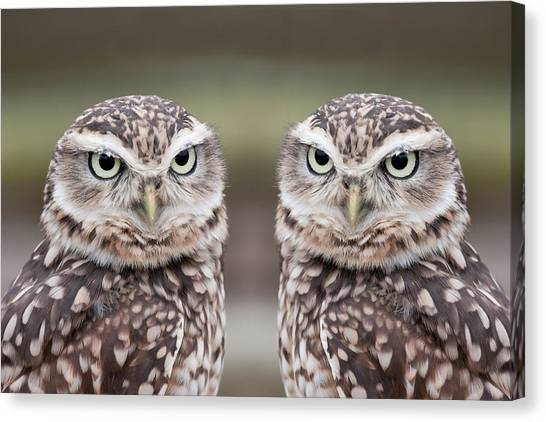 Owls Canvas Print - Burrowing Owls by Tony Emmett