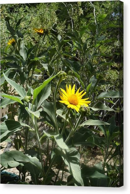 Burst Of Sun Flower Canvas Print