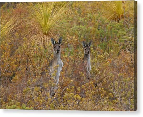 Bush Kangaroos Canvas Print
