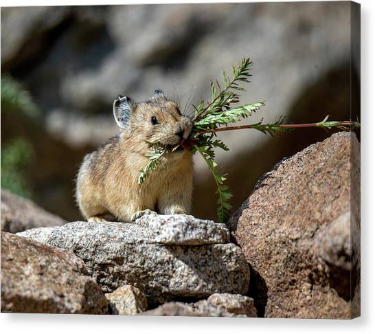 Busy As A Pika Canvas Print