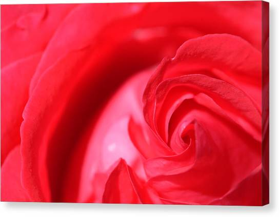 Butler Rose Canvas Print