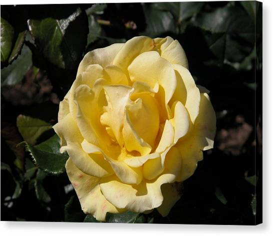 Butter Rose Canvas Print by William Thomas