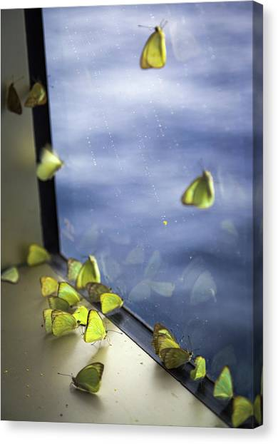 Sulfur Butterfly Canvas Print - Butterflies At Sea by Karen Wiles