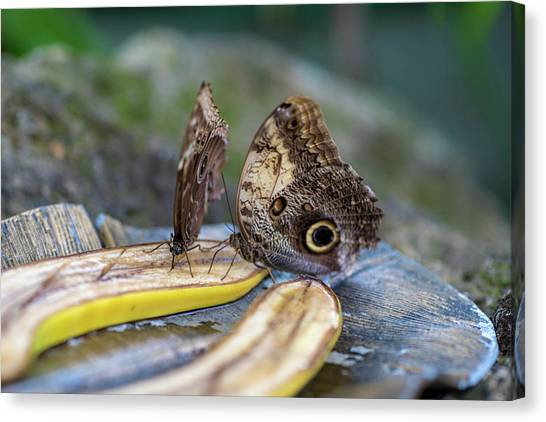 Canvas Print featuring the photograph Butterflies Eating Bananas by Raphael Lopez