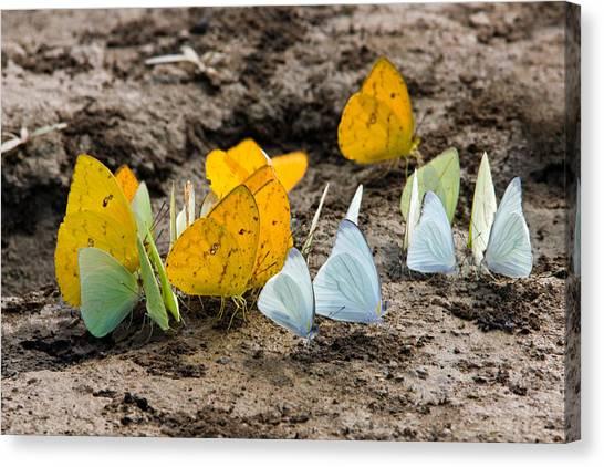 Butterflies Eating Minerals Canvas Print