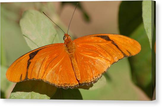 Canvas Print - Butterfly 1 by Susan Heller