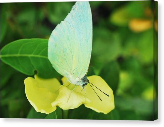 Butterfly 2 Canvas Print by Susette Lacsina