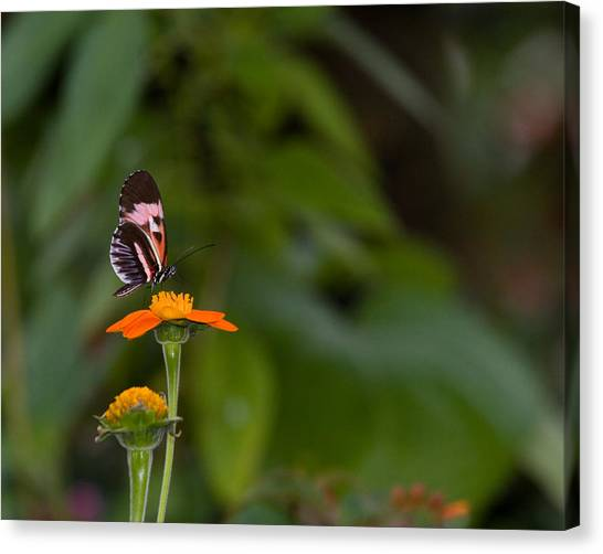 Butterfly 26 Canvas Print