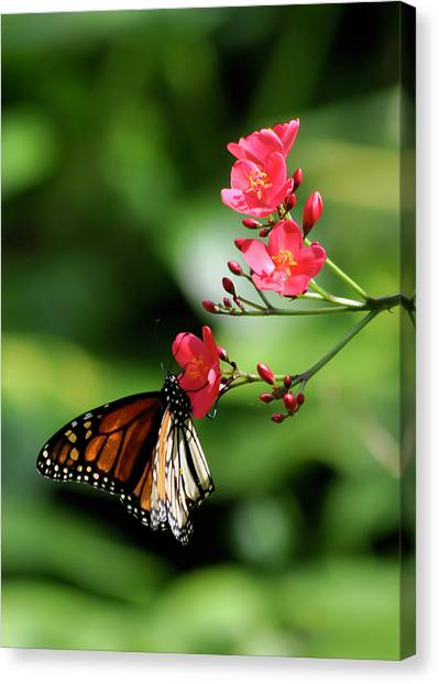 Butterfly And Blossom Canvas Print