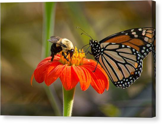 Canvas Print featuring the photograph Butterfly And Bumble Bee by Willard Killough III