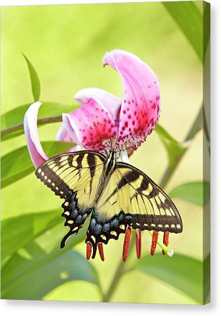 Butterfly And Lily Canvas Print