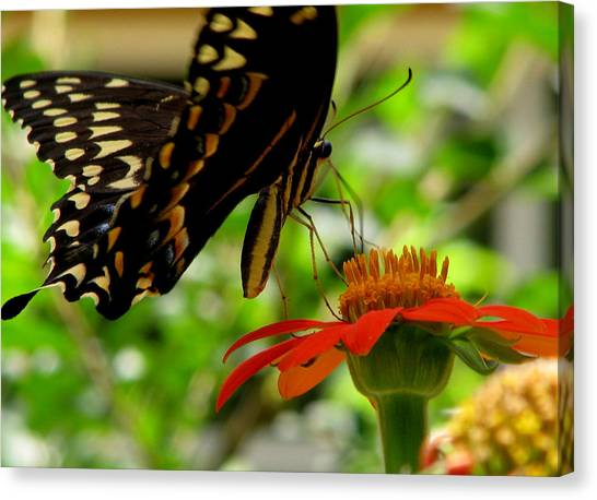 Butterfly And The Flower Canvas Print by Dottie Dees