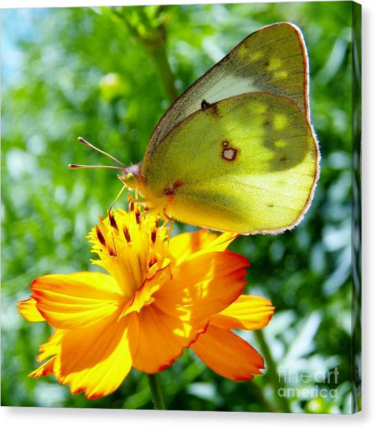Butterfly And Yellow Cosmo Flower Canvas Print