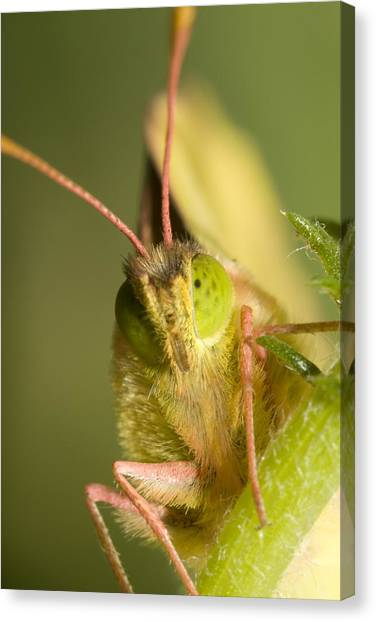 Butterfly Canvas Print by Andre Goncalves