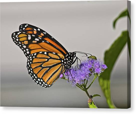 Butterfly Bug Inspector Canvas Print
