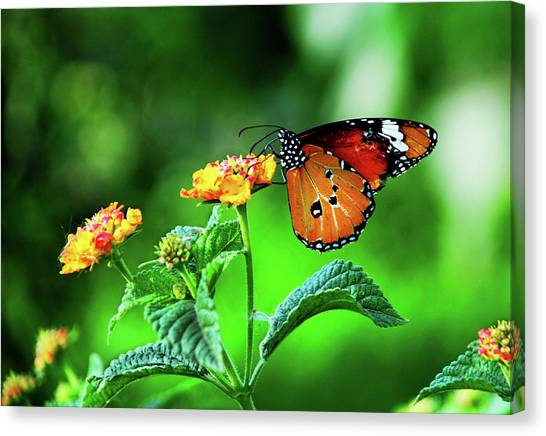 Butterfly Canvas Print by Chaza Abou El Khair