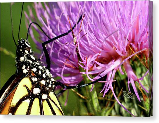 Butterfly On Bull Thistle Canvas Print