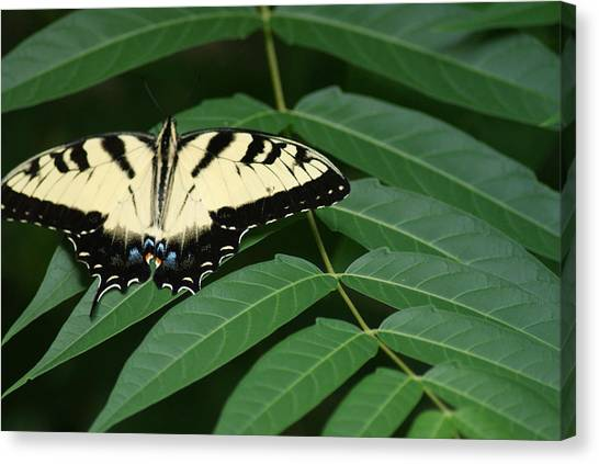 Butterfly Canvas Print by Heather Green