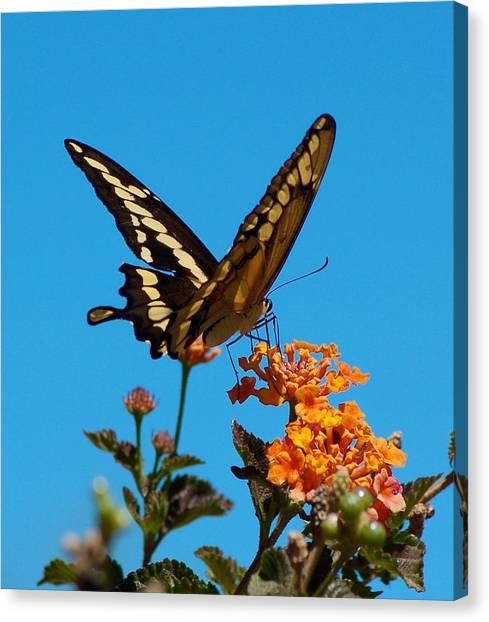 Butterfly II Canvas Print by Susan Heller