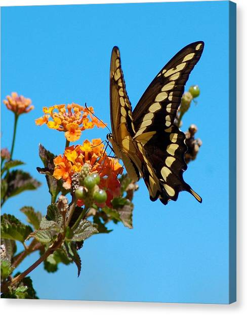 Butterfly IIi Canvas Print by Susan Heller