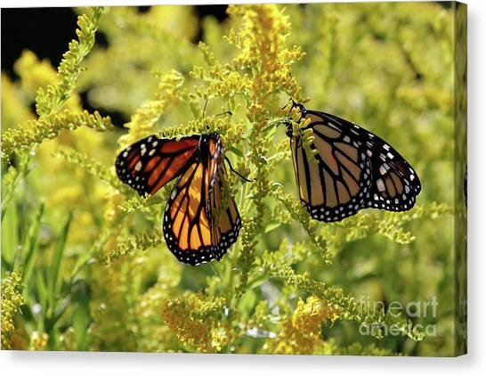 Butterfly In Fall  Canvas Print