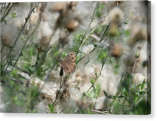 Butterfly In Puffy Seed Heads Canvas Print