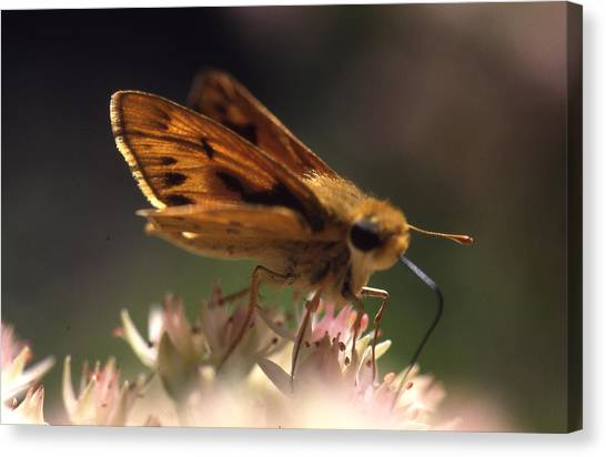 Butterfly-lick Canvas Print