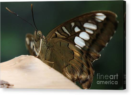 Butterfly Macro Canvas Print