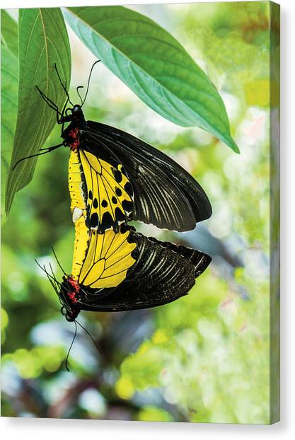 Butterfly Mating Canvas Print