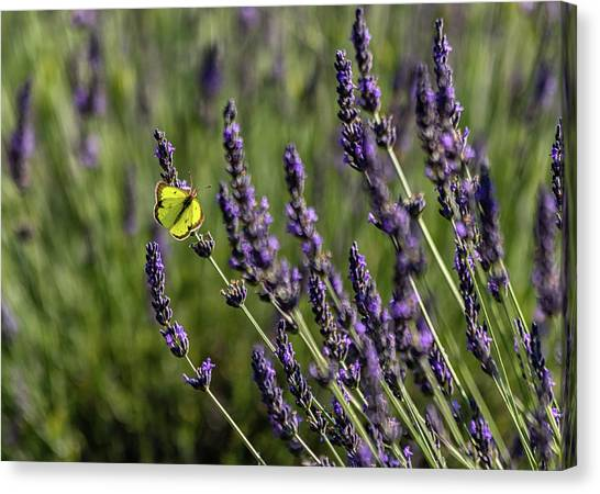 Butterfly N Lavender Canvas Print