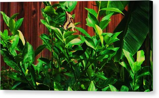 Butterfly Canvas Print by Nereida Slesarchik Cedeno Wilcoxon