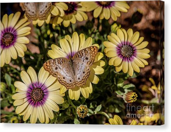 Butterfly On Blossoms Canvas Print