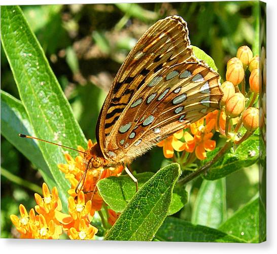 Butterfly On Flower Canvas Print by Margaret G Calenda