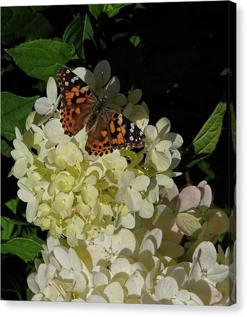Butterfly On Hydrangea Canvas Print