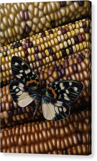 Indian Corn Canvas Print - Butterfly On Indian Corn by Garry Gay