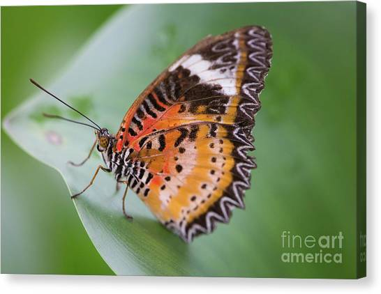 Butterfly On The Edge Of Leaf Canvas Print