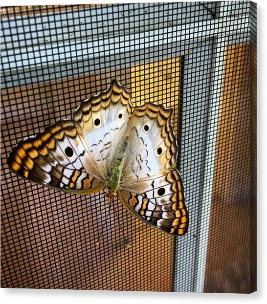 Insects Canvas Print - Butterfly On Window Screen by Juan Silva